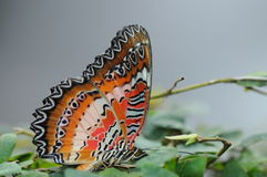 Leopard Lace Butterfly / Cethosia cyane Royalty Free Stock Image
