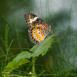 Leopard Lacewing Royalty Free Stock Photo