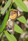 Leopard lacewing butterflies Stock Image