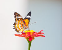 Leopard lacewing butterfly Royalty Free Stock Photos