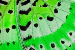 Leopard Lacewing Butterfly (Cethosia cyane) Stock Images