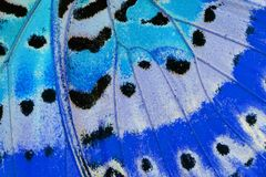 Leopard Lacewing Butterfly (Cethosia cyane) Royalty Free Stock Images
