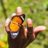 Leopard lacewing butterfly Stock Image