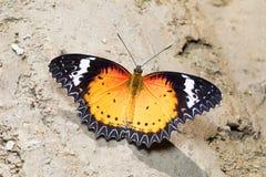 Leopard Lacewing butterfly, Cethosia cyane cyane, Satakha stock image