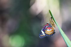 Leopard Lacewing Butterfly on Chrysalis in the garden. Leopard Lacewing Butterfly perched on Chrysalis in the garden stock photos