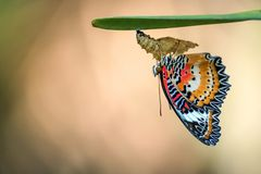 Leopard Lacewing Butterfly on Chrysalis in the garden. Leopard Lacewing Butterfly perched on Chrysalis in the garden stock images