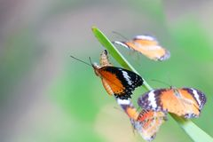 Leopard Lacewing Butterfly on Chrysalis in the garden. Leopard Lacewing Butterfly perched on Chrysalis in the garden royalty free stock photo