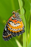 Leopard lacewing butterfly Stock Photos