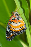 Leopard lacewing butterfly Stock Photography