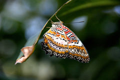 Leopard lacewing butterfly close up stock images