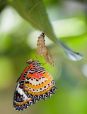 Leopard lacewing butterfly. Come out from pupa royalty free stock image