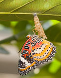 Leopard lacewing butterfly. Come out from pupa stock photo