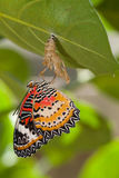 Leopard lacewing butterfly. Come out from pupa stock image