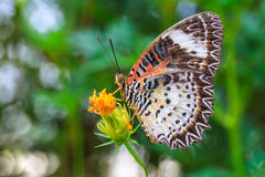 Leopard lacewing butterfly feeding on cosmos flower Royalty Free Stock Photography