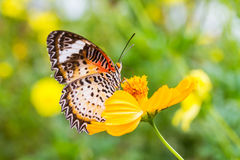 Leopard lacewing butterfly feeding on cosmos flower Stock Images
