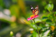 Leopard lacewing butterfly feeding on zinnia flower Royalty Free Stock Image