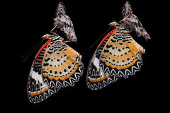 The Leopard Lacewing butterfly. Isolated on black background royalty free stock photography