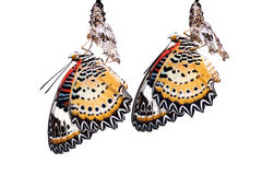 The Leopard Lacewing butterfly. Isolated on white background royalty free stock photography