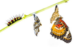 Leopard lacewing butterfly life cycle Royalty Free Stock Photo