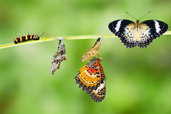 Leopard lacewing butterfly life cycle Stock Photos