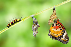 Leopard lacewing butterfly life cycle. Leopard lacewing (Cethosia cyane euanthes) butterfly , caterpillar, pupa and emerging royalty free stock images