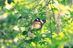 Leopard lacewing butterfly Royalty Free Stock Image