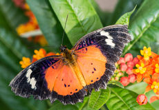 Leopard Lacewing. Butterfly with open wings royalty free stock photos