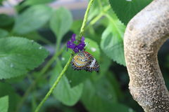 Leopard lacewing butterfly Royalty Free Stock Photography