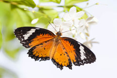 Leopard lacewing butterfly Royalty Free Stock Photo