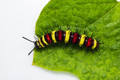 Leopard lacewing caterpillar Stock Photos