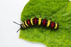 Leopard lacewing caterpillar Stock Photos