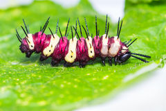 Leopard lacewing caterpillar Royalty Free Stock Images