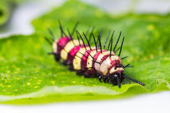 Leopard lacewing caterpillar Royalty Free Stock Image