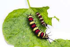 Leopard lacewing caterpillars Stock Images