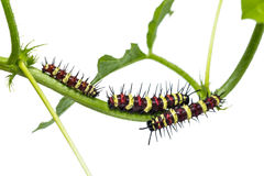 Leopard Lacewing caterpillars Royalty Free Stock Image