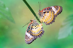 Leopard Lacewing (Cethosia cyane). Butterflies royalty free stock photos