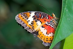 Leopard Lacewing - Cethosia cyane royalty free stock photo