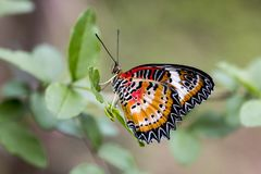 Leopard lacewing cethosia cyane butterfly. Leopard lacewing tropical cethosia cyane butterfly royalty free stock photos