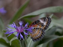 Leopard lacewing cethosia cyane butterfly royalty free stock photography