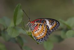 Leopard lacewing cethosia cyane butterfly royalty free stock photos