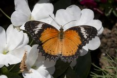 Leopard lacewing cethosia cyane butterfly stock images