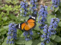 Leopard lacewing cethosia cyane butterfly stock photography