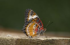 Leopard lacewing cethosia cyane butterfly. Leopard lacewing tropical cethosia cyane butterfly stock photography