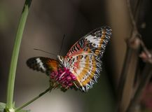 Leopard lacewing cethosia cyane butterfly. Leopard lacewing tropical cethosia cyane butterfly stock photos