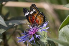 Leopard lacewing cethosia cyane butterfly royalty free stock photo