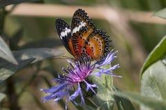Leopard lacewing cethosia cyane butterfly. Leopard lacewing tropical cethosia cyane butterfly royalty free stock photo