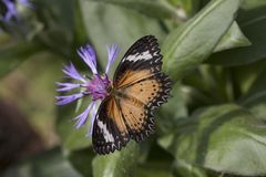 Leopard lacewing cethosia cyane butterfly stock image