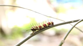 Leopard Lacewing Cethosia cyane caterpillar stock video