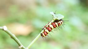 Leopard Lacewing Cethosia cyane caterpillars stock video