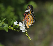 Leopard Lacewing (Cethosia cyane) Royalty Free Stock Image